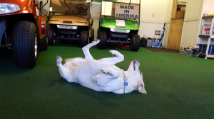 Speed Bump the dog at West Coast Golf Cars on S Pebble Beach Blvd
