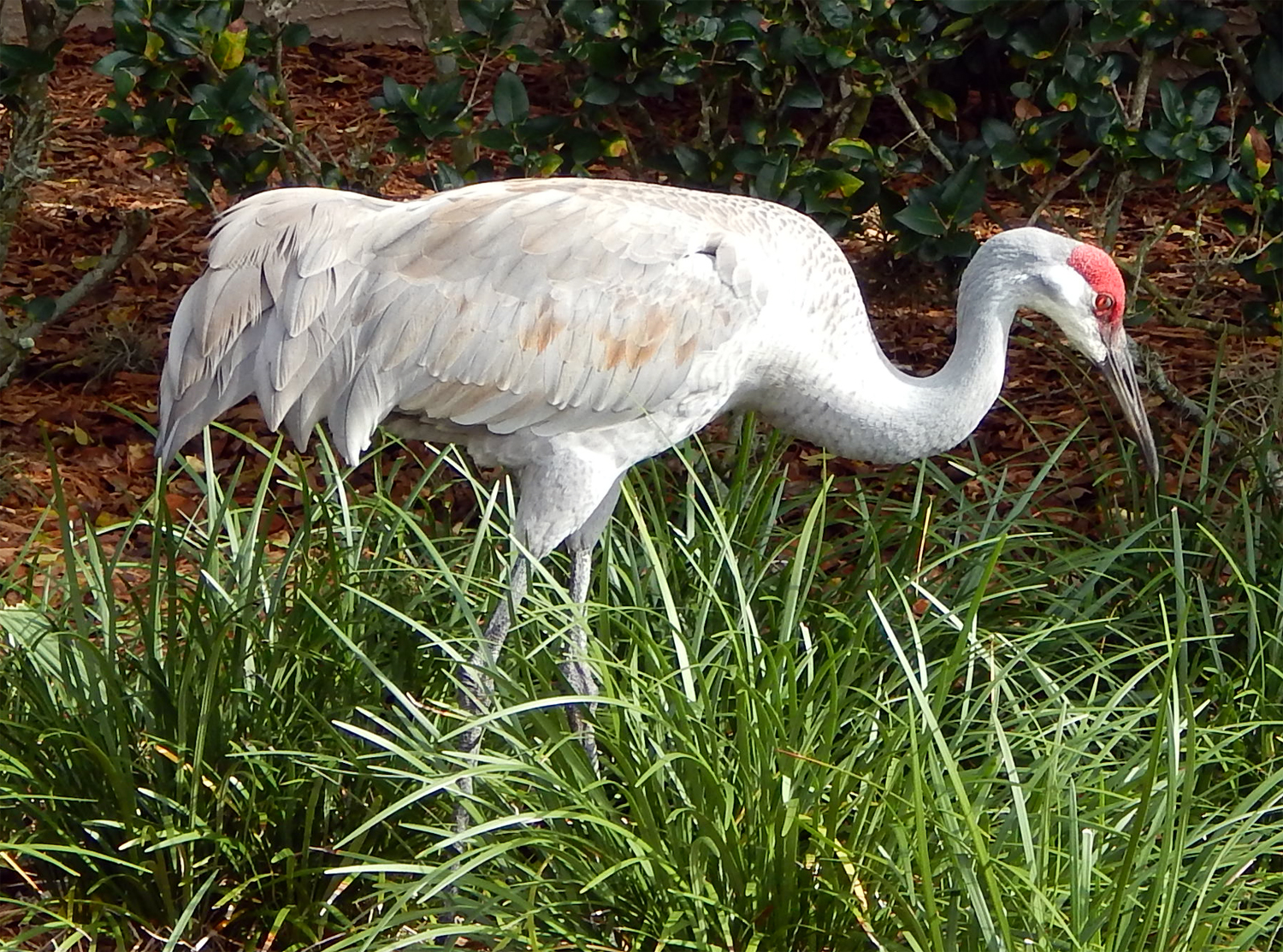 Sandhill Crane walking on lawn in Sun City Center, FL [staff photo]