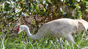 Sandhill Crane on lawn in Sun City Center, FL [staff photo]