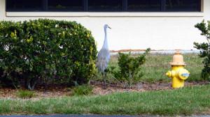 Sandhill Crane walking around house in Sun City Center, FL [staff photo]