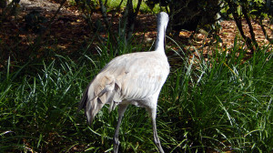 Tail of Sandhill Crane on lawn in Sun City Center, FL [staff photo]