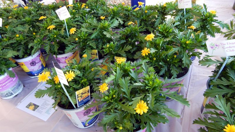 The Elegant Gardeners  Club displays yellow Euryops chrysanthemoides in booth
