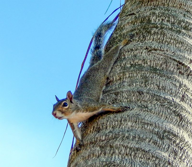 A Squirrel Living in a 55+ retirement community in Sun City Center, Florida photo/staff