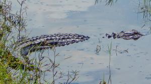 Alligator in pond in Sun City Center, FL
