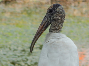 Aug 2, 2014 - closeup of head and neck of Wood Stork