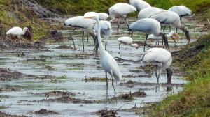 Egrets, American White Ibis and Wood Storks share food from freshly dug ditch on 674, Sun City Center, FL