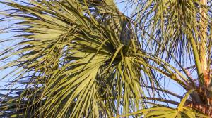 Fan palms leaves on Sabel Palmetto trees, Sun City Center, FL