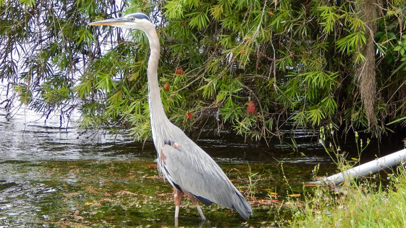 Great Blue Heron hunting in Pond, Sun City Center, FL