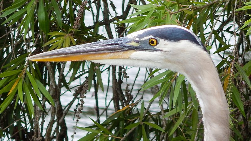 Great Blue Heron in hunting in pond, Sun City Center, FL