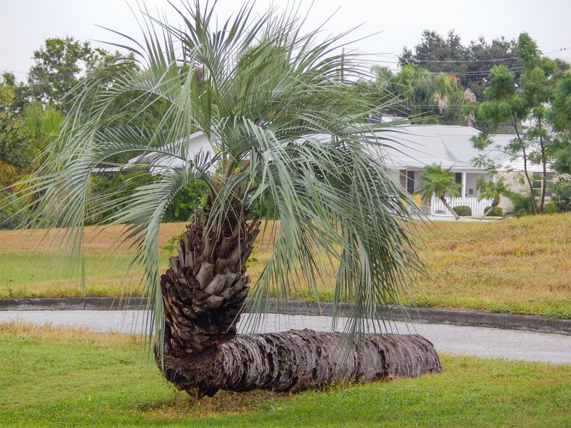 Palm Tree grows sideways near North Community Center in Sun City Center, FL photo/staff