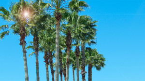 Palm Trees in median on S Pebble Beach Blvd, Sun City Center, FL