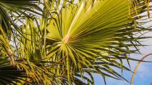 Palmate Fan Leaf on Washingtonia Palm Trees, Sun City Center, FL