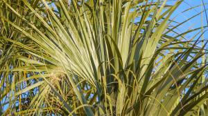 Sabel Palmetto Palm Trees, Sun City Center, FL