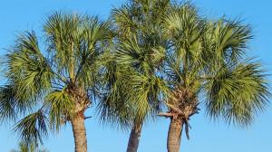 Sabel Palmetto or Cabbage Palm Trees, Sun City Center, FL