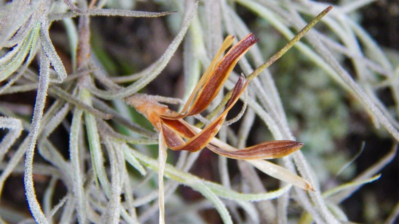 Spanish Moss (Tillandsia usneoides) in Sun City Center, FL ...