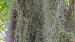 Spanish Moss growing in Sun City Center, Florida