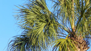 Tops of Sabel palm tress in Sun City Center, FL