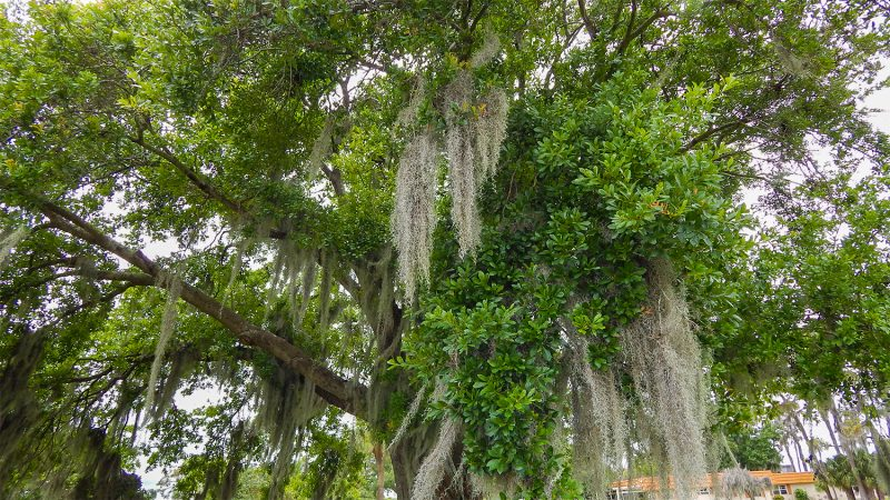 Tree filled with Spanish Moss in Sun City Center, FL
