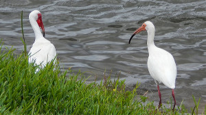 Two American White Ibis at pond in Sun City Center, FL