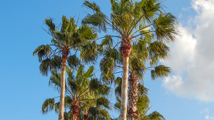 Washingtonia Palm Trees against blue sky background, Sun City Center, FL