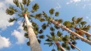 Washingtonia Palm Trees with blue skies backgroun in, Sun City Center, FL