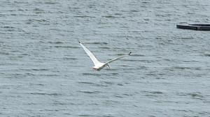 White Ibis in flight over water revealing black tip wings