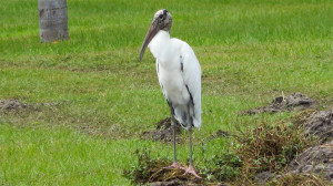 Wood Stork on side of SR 674 and Kings Blvd, Sun City Center, FL