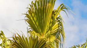 palmate fan of leaflets on Washingtonia Palm Tree, Sun City Center, FL