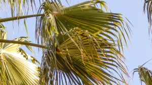 palmate fan of leaflets on Washingtonia Palm Trees, Sun City Center, FL