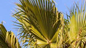 palmate fan of leaflets up to 1 m long on Washingtonia Palm Trees, Sun City Center, FL