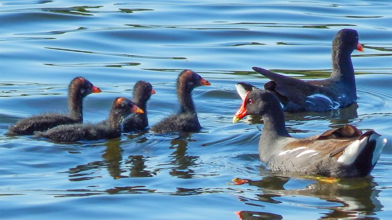 A red billed adult male and female Gallinule with brood wading in pond, Sun City Center