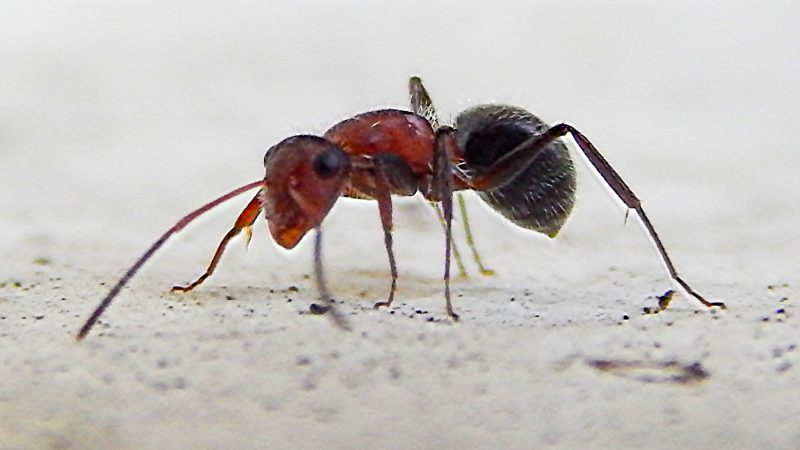 how to get rid of florida carpenter ants
