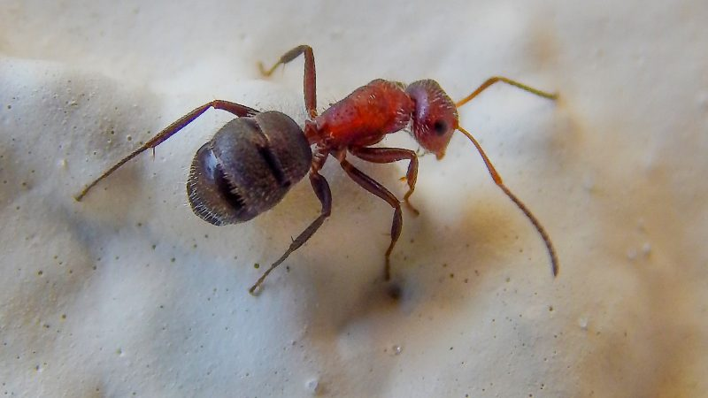 Carpenter Worker Ants indigenous to Florida