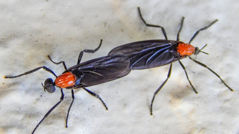 Kissing bugs coupling in May 5, 2014 in Sun City Center