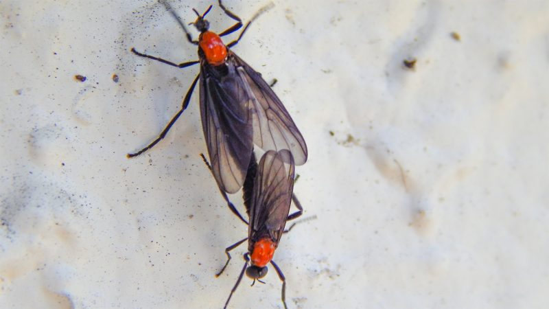 Adult Lovebugs mating will remain coupled for days in Sun City Center