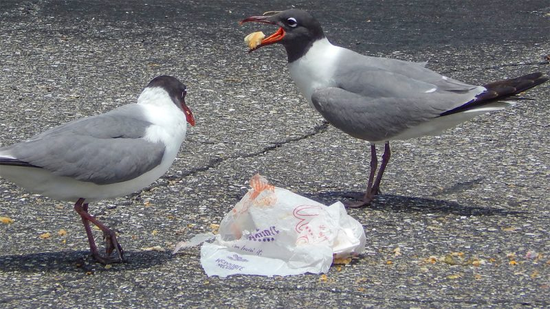 Mediterranean Gulls celebrate Memorial Day by eating McDonalds Hamburger