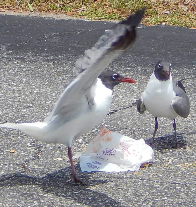 Mediterranean Gulls eating Mc Donald's Hamburger