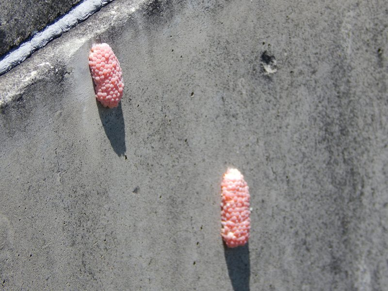 Red Apple Snail Eggs stuck together on concrete wall