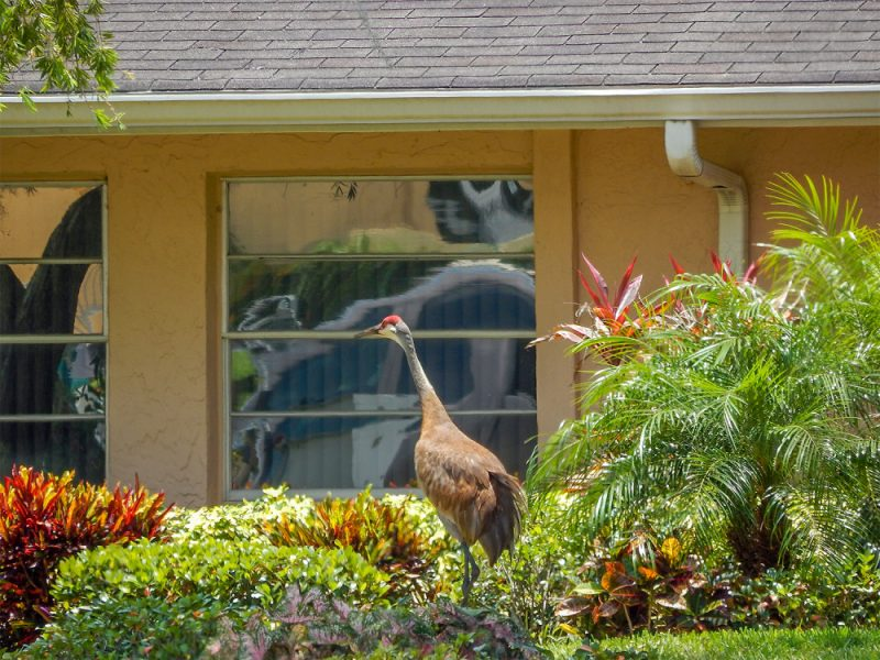 Sandhill Crane a couple of feet away from a  window next to  house in Sun City Center