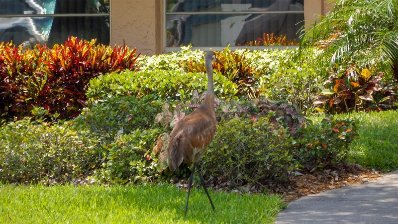 Sandhill Crane walking on lawn towards house in Sun City Center, FL