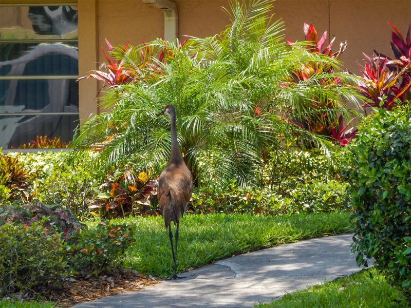 Sandhill Crane walking sidewalk towards house in Sun City Center