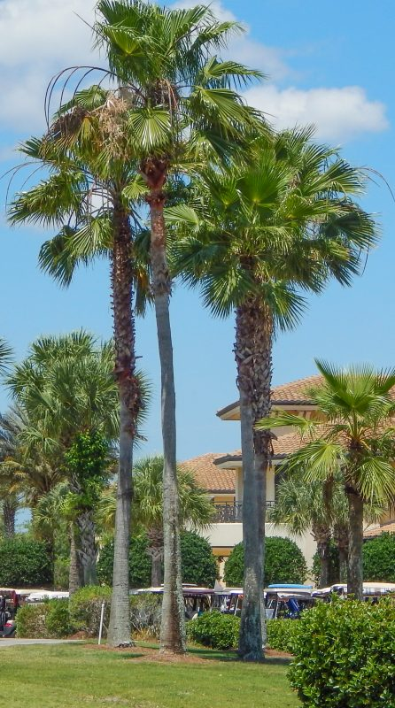 Washingtonia Palm trees behind Renaissance Club House