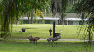 Four Sandhill Cranes on Kings Point Executive Golf Course