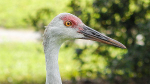 Sandhill Crane closeup head right side profile