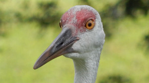Sandhill Crane closeup of head