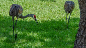 Two Sandhill Cranes taking a stroll on the grass in Sun City Center