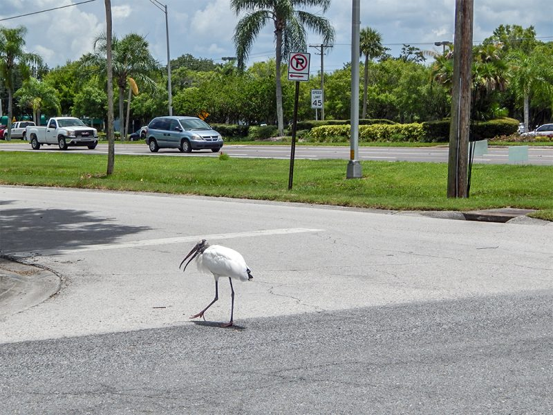 Wood Stork crosses street in Sun City Center, FL
