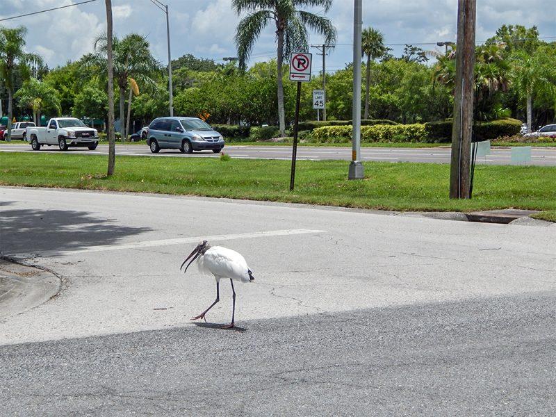 Wood Stork crosses street in Sun City Center, FL