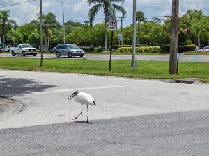 Wood Stork slowly crosses Rickenbacker Dr and Sun City Cente Plz