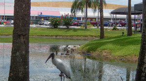 Aug 2, 2014 - Wood Stork with Sun City Center Plaza in background